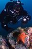 Diver Nayan checks out a bat star, Santa Cruz Island, California.