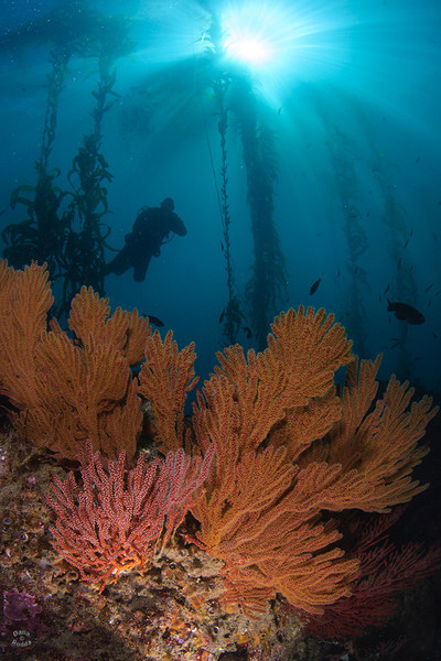 "A diver enjoys the beautiful sunny kelp forest scenery with gorgonian sea fans and happy fish, at dive site ""Iron-bound"" on the south side (backside) of Catalina Island."