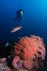 Sunflower seastar and sheephead fish from Gull Island, near the northwest side of Santa Cruz Island, California.