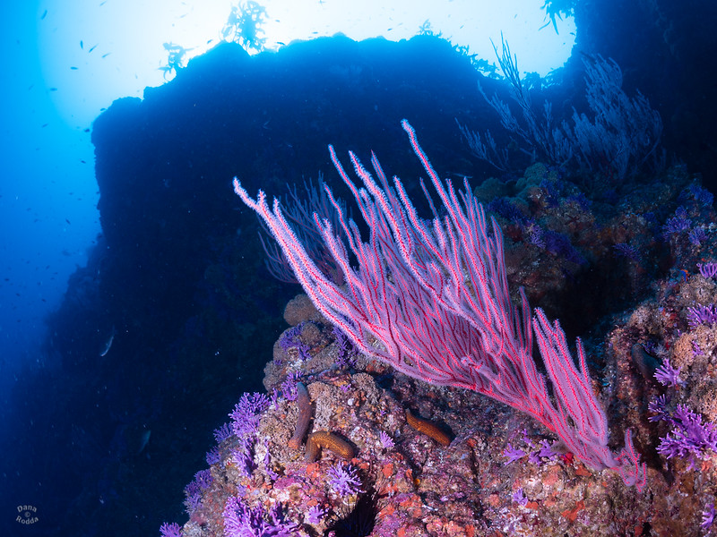 Farnsworth Banks - Red Gorgonian, Purple Hydrocoral, Sea Cucumbers, reef structure