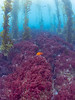 Backside of Catalina Island at Iron Bound Cove, beautiful red algae covering the reef, Garibaldi hanging out in the kelp.