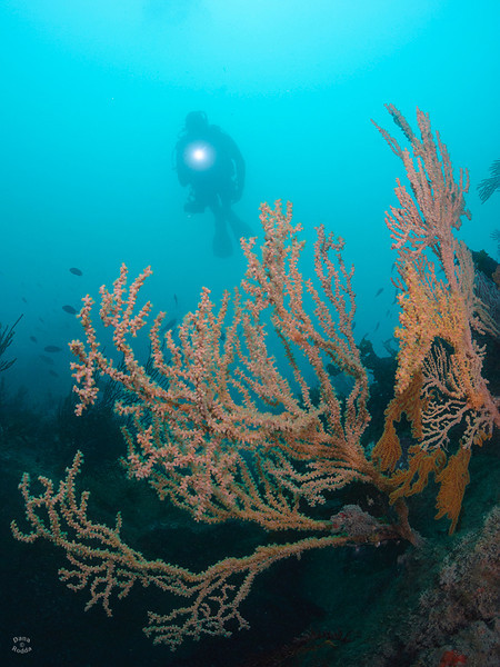 "These gorgonian sea fans are being taken over by thousands of Yellow Zoanthid Anemones, but it sure is beautiful scenery from dive site ""Sentinel Rock"", on the south side (backside) of Catalina Island."
