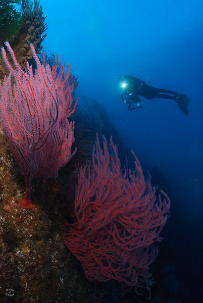 "Red gorgonians on the a beautiful wall at the ""Window Pane"" dive site, San Clemente Island.  Thank you Mike Z. for posing :-)."