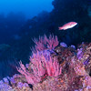 Farnsworth Banks - Red gorgonians, purple hydrocoral, and female sheephead.
