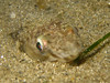Synodus lucioceps (California Lizardfish) (out of focus, but with isopod parasites!)