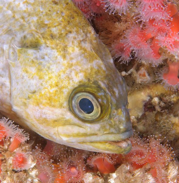 Kelp rockfish among corynactis anemones