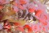 Juvenile rockfish among corynactis anemones