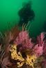 Purple and red gorgonian sea fans, some with yellow zoanthid anemone colonies, diver