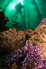 Purple hydrocoral, kelp forest, diver