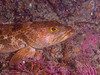 Ophiodon elongates - Lingcod - Younger, smallish maybe 2 ft long, Color variation similar to kelp<br /> San Miguel Island, backside near Wyckoff Ledge