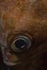 Rockfish eye