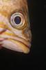 Rockfish profile