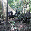 Walking into the jungle we came upon roughly 30 Crested Black Macaque Monkeys.