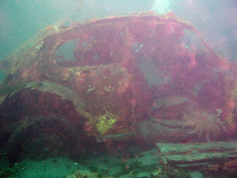 Sunken VW Bug, always a fun sight. Very popular with Sunflower Stars.