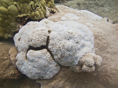 weird coral for Darla 18 July 2009 Maui Prince 10 feet PTatPHILIPTdotCOM 20090718_000139