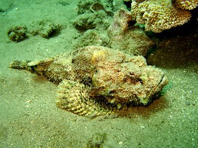 devil scorpionfish (Scorpaenopsis diabolus) 20070903_000176_crop1