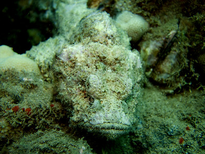 devil scorpionfish (Scorpaenopsis diabolus) 20070903_000111_crop1