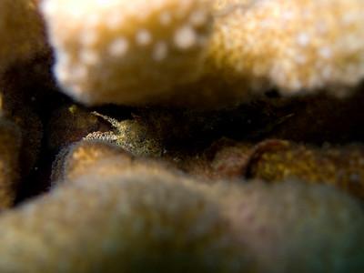 unidentified fish hiding in cauliflower coral (Pocillopora meandrina) - 20070903_000114_crop1
