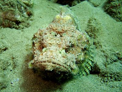 devil scorpionfish (Scorpaenopsis diabolus) 20070903_000060_crop1