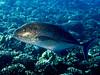 bluefin trevally - blue ulua - omilu (Caranx melampygus) - 20071102_000114_crop1