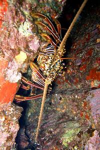 lobster 20071102_000037_crop1