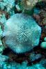mushroom coral (Fungia scutaria) - 20071102_000121_crop1