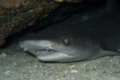 whitetip reef shark - 20071102_000106_crop2