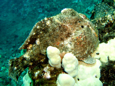 frogfish (Antennarius commersoni) - 20070925_000012_crop1
