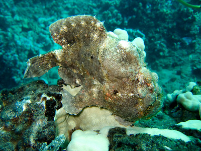 frogfish (Antennarius commerson)