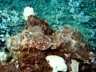 frogfish (Antennarius commersoni) - (TWO!  Do you see 'em both) - 20070925_000041_crop1