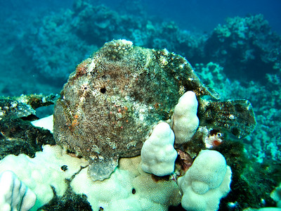 frogfish (Antennarius commersoni) - 20070925_000015_crop1