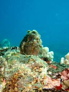 frogfish (Antennarius commersoni)  (TWO!  Do you see 'em both) - 20070925_000021_crop1