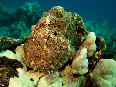 frogfish (Antennarius commersoni) - 20070925_000016_crop1