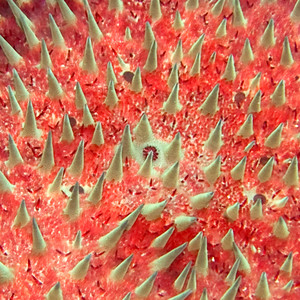 crown of thorns starfish (Acanthaster planci) copyright (©) 2007 by Philip A. Thomas