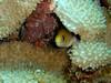 <i>Gymnothoraxmelatremus</i> (dwarfmorayeel)