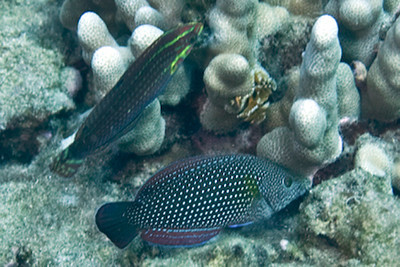 Halichoeres ornatissimus (upper left: ornate wrasse); Anampses cuvier (lower: pearl wrasse)