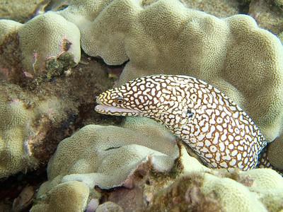 whitemouth moray (Gymnothorax meleagris) - 20070909_000002 edit