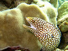 whitemouth moray (Gymnothorax meleagris) - 20070909_000003 edit