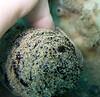 cf Chelidonura hirundinina (10mm) on Holothuria atra - 20070909_000080