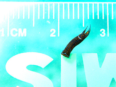 cf Chelidonura hirundinina - cm scale - 20070909_000083 edit2