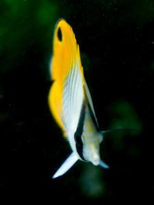 Chaetodonauriga (juvenile)