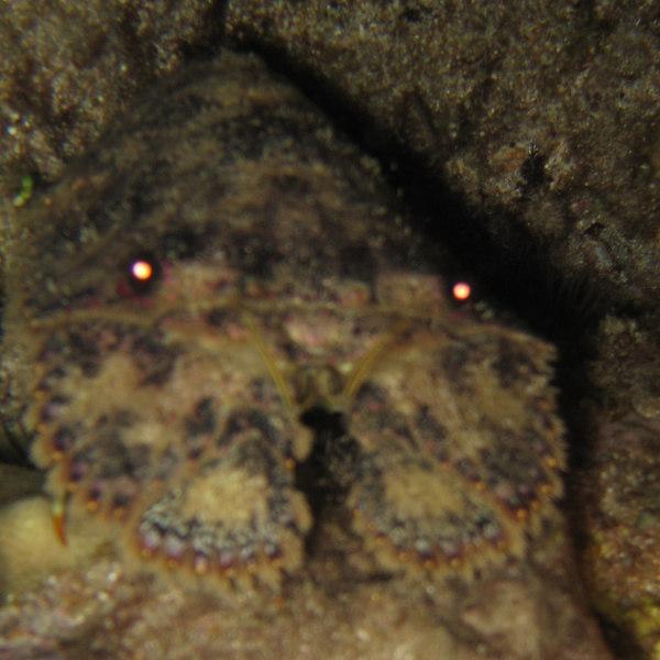 slipper lobster - Parabacus antarcticus - 20060619_000040