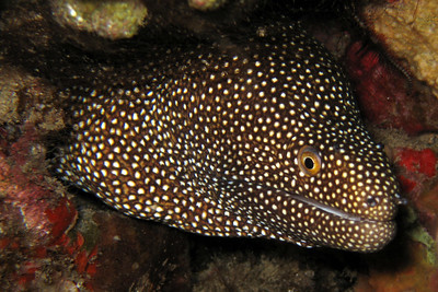 whitemouth moray - Gymnothorax meleagris - 20060619_000025