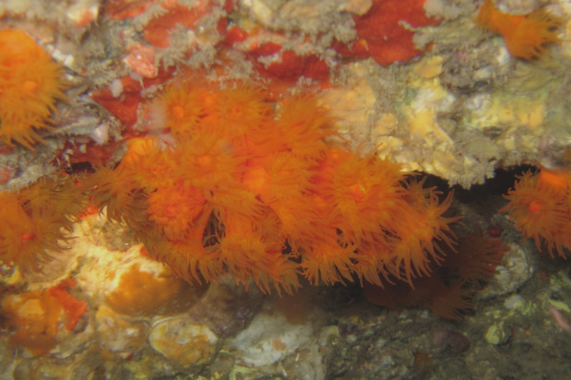 Tubastrea cf coccinia - 20060619_000045