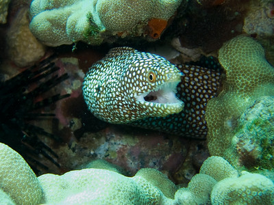 whitemouth moray (Gymnothorax meleagris) - 20071015_000112_crop1