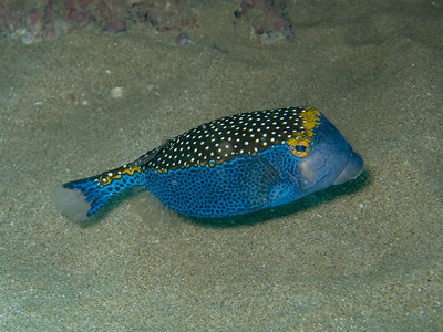 spotted boxfish (Ostracion meleagris) (male) - 20071015_000131_crop1