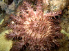 crown-of-thorns starfish (Acanthaster planci) - 20070930_000056