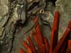 bluestripe pipefish Doryrhampus excisus) with red pencil urchin (Heterocentrotus mammilatus) - 20070930_000008_crop1