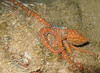 <i>Octopus ornata</i> (20080925_000378)