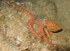 <i>Octopusornata</i> (20080925_000378)